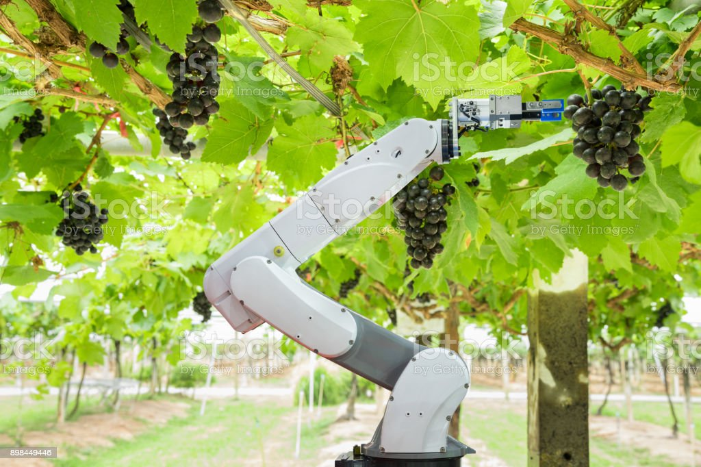 Agricultural robot assistant harvesting grapes to analyze the grape growth, Smart farm concept stock photo