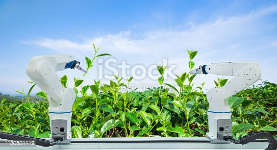 istock Agricultural robot harvesting green tea leaf in agriculture industry, Technology Smart farm 4.0 concept 1130501119