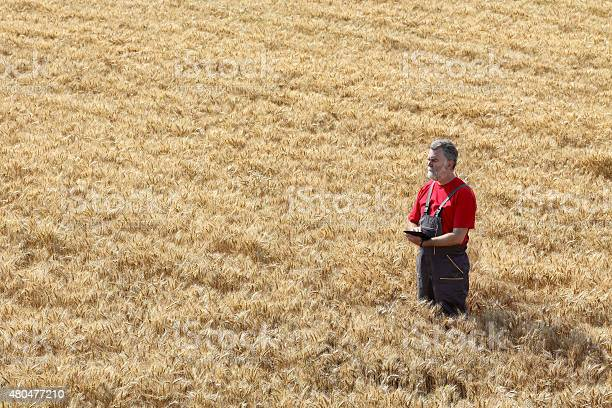 Agricultural Scene Farmer Or Agronomist Inspect Wheat Field Stock Photo - Download Image Now