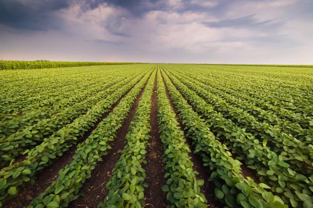 landwirtschaftlichen soja-plantage auf sonnigen tag - pflanze wachsende grüne sojabohnen gegen sonnenlicht - plantage stock-fotos und bilder