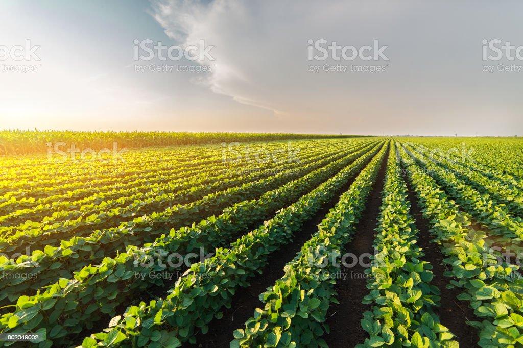 Tarım soya ekimi güneşli - yeşil büyüyen soya fasulyesi güneş ışığına karşı bitki. - Royalty-free Bahar Stok görsel