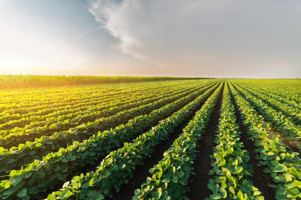 화창한 날-농업 콩 농장 녹색 성장 콩 식물의 햇빛에 대 한 - 농업 뉴스 사진 이미지