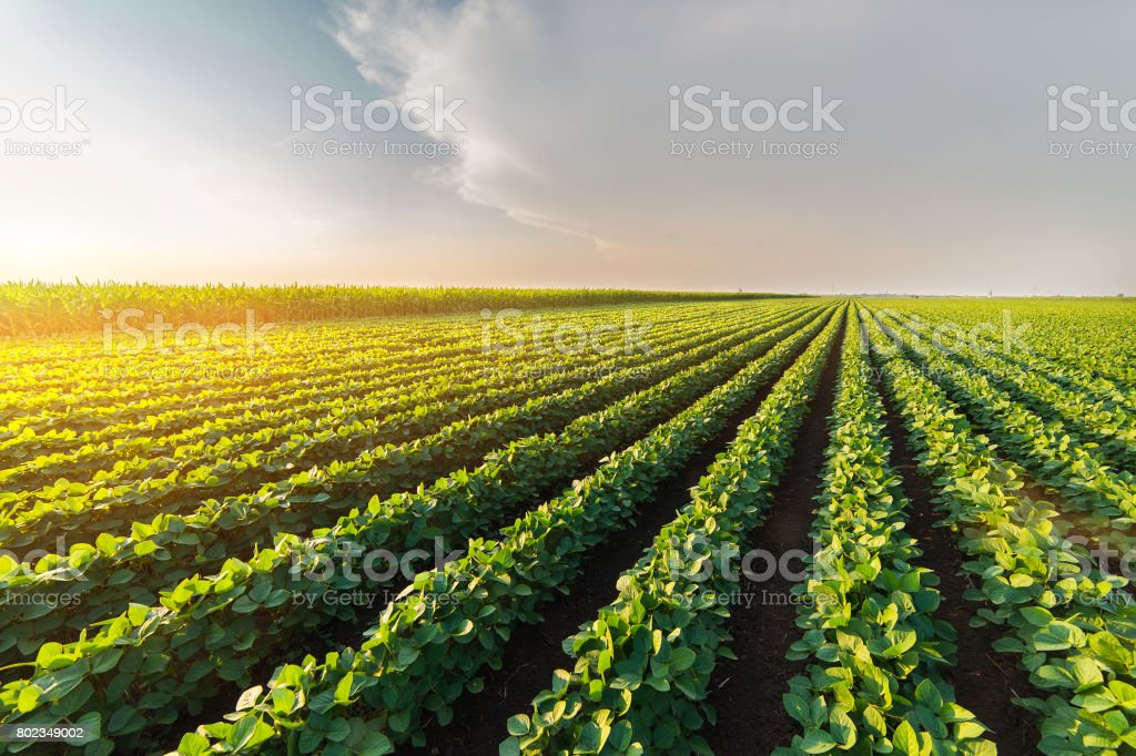 Agricultural soy plantation on sunny day - Green growing soybeans plant against sunlight – zdjęcie