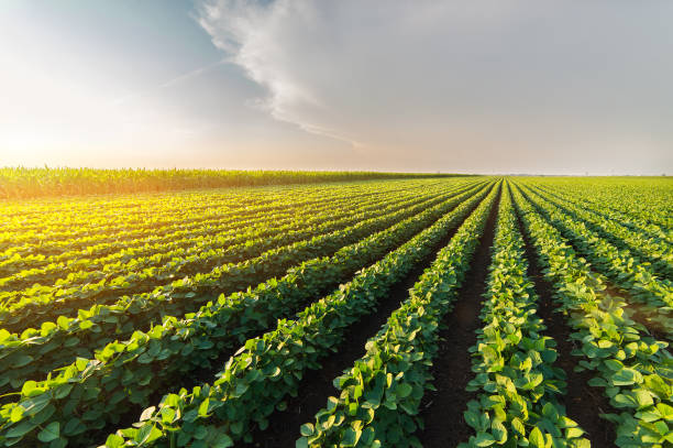 agricultural soy plantation on sunny day - green growing soybeans plant against sunlight - field stock photos and pictures