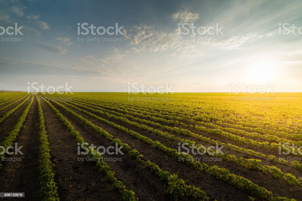 Agricultural soy plantation on sunny day - Green growing soybeans plant against sunlight stock photo