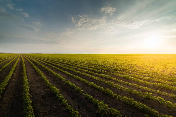 Landwirtschaftlichen Soja-Plantage auf sonnigen Tag - Pflanze wachsende grüne Sojabohnen gegen Sonnenlicht – Foto