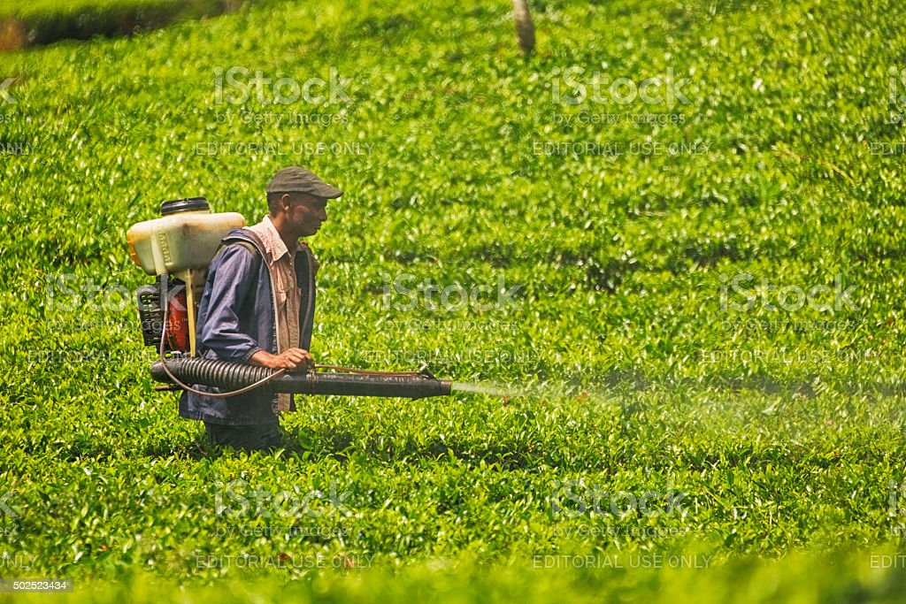 Agricultural Spraying In Tea Plantations Of Sri Lanka Stock