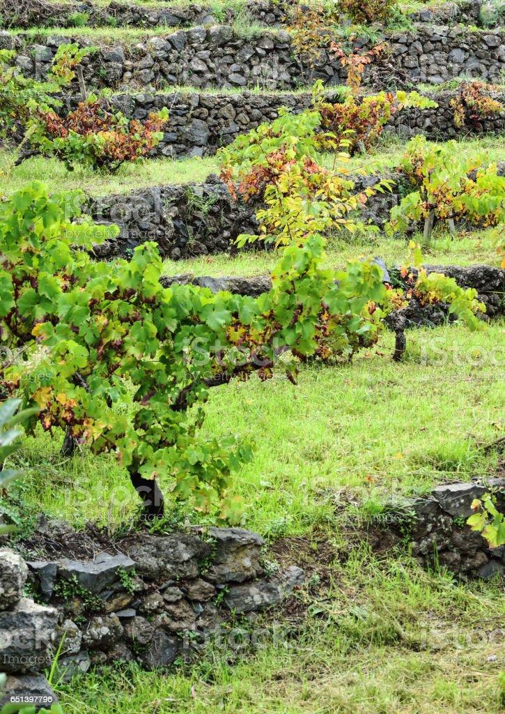 Terrazas Agrícolas Con Viñedos Foto De Stock Y Más Banco De