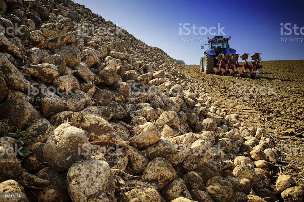 Agricultural vehicle harvesting sugar beet stock photo