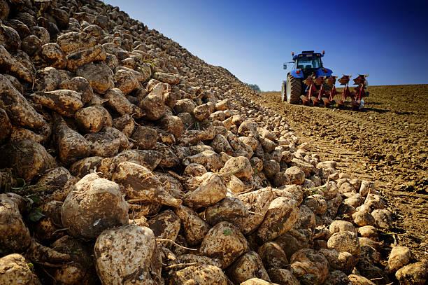 Agricultural vehicle harvesting sugar beet stock photo