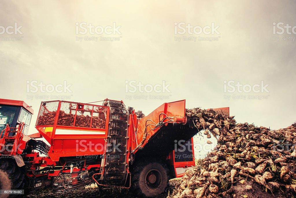 Agricultural vehicle harvesting sugar beets stock photo