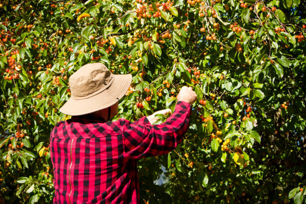 Agricultural Worker Farmer Man Picking Crab Apple Tree An agricultural worker farmer picking crabapples.An agricultural worker farmer picking crab apples. migratory workers stock pictures, royalty-free photos & images