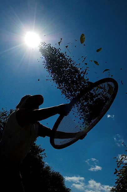 landwirtschaftliche arbeiter pflücken kaffee - puderzuckersieb stock-fotos und bilder