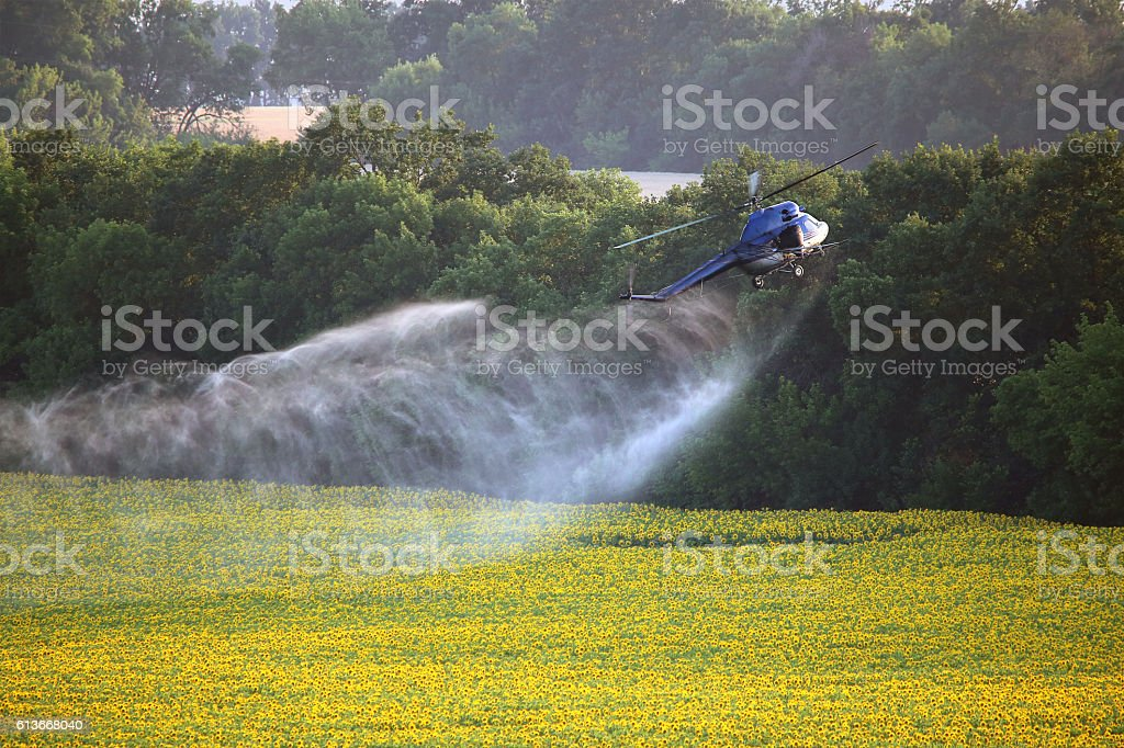 Agricultural works. Helicopter flying spraying above sunflowers field at summer stock photo