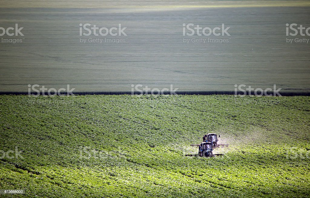 Agricultural works, two tractors weeding field of sunflowers in June stock photo