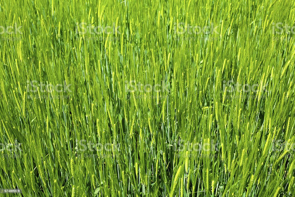 Agriculture background - green fresh grain royalty-free stock photo