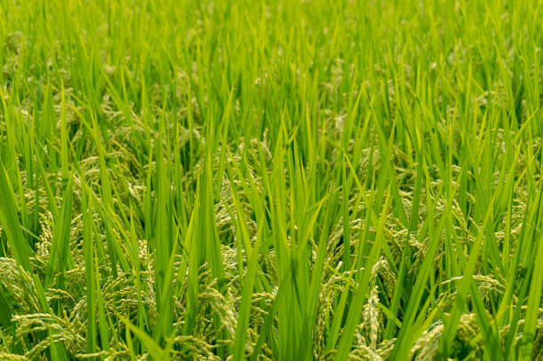agriculture background of rice paddy - satoyama scenery stock photos and pictures