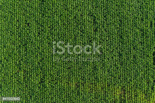 istock Agriculture background rows of healthy green corn maize crop field 641002840