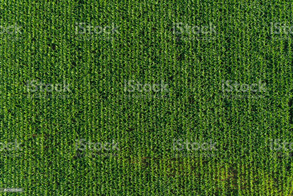 Agriculture background rows of healthy green corn maize crop field stock photo