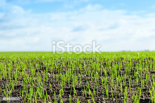 wheat - photographed close-up of young green wheat shoots at the beginning of their growth