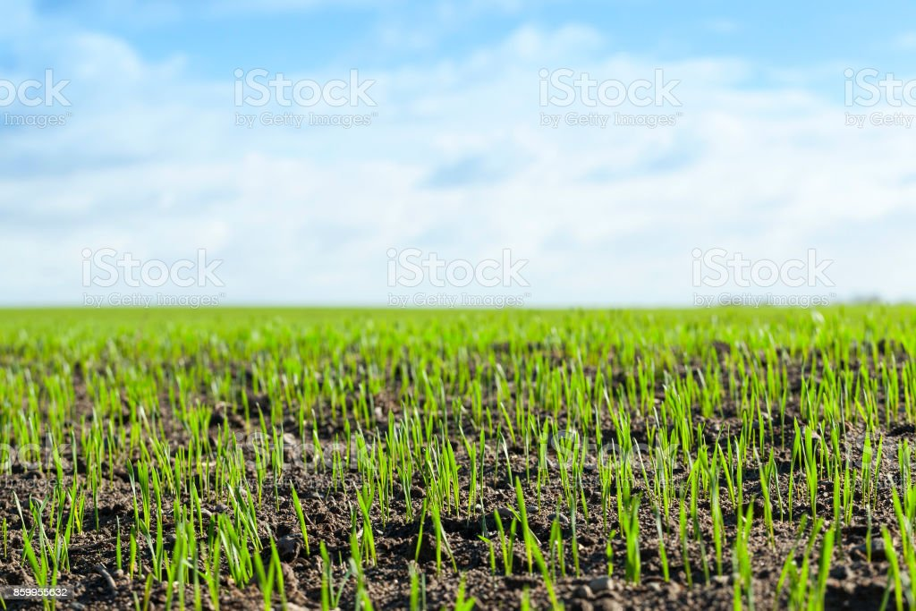 agriculture, cereal stock photo