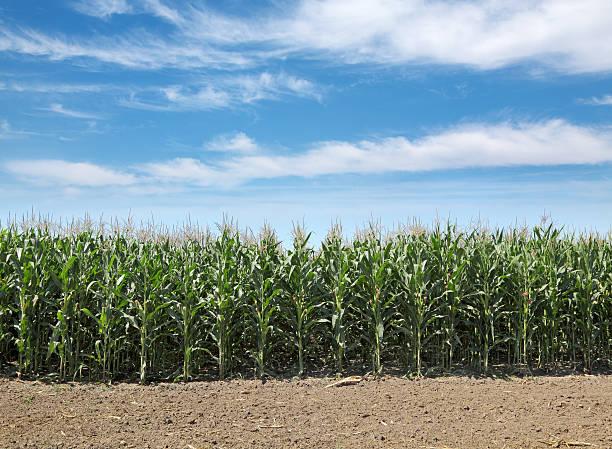 Landwirtschaft, corn field – Foto