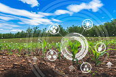 agriculture digital farm cornfield technology concepts with growing maize in the cultivated field