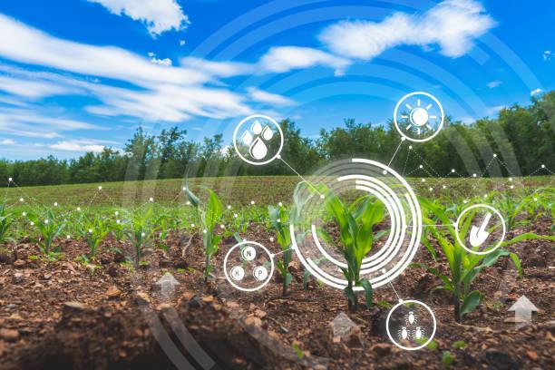 농업 디지털 농장 옥수수 밭 기술 개념 재배 분야에서 성장 옥수수 - 농업 뉴스 사진 이미지