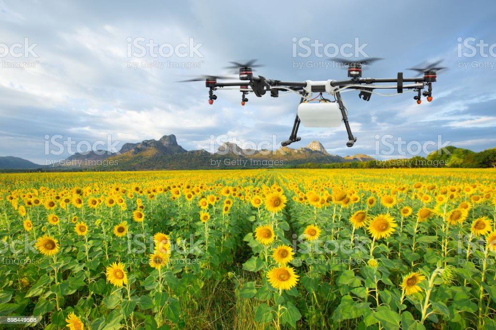 Agriculture drone flying on the sunflower field, Smart farm concept stock photo