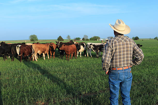 Agriculture: Farmer Rancher with Mixed Breed Cattle in a Field A farmer rancher looking at his herd of mixed breed beef calves standing in a winter wheat field. Photo was taken in the late afternoon so the farmer is casting a long shadow. rancher stock pictures, royalty-free photos & images