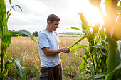 Agriculture: farmer stands in his field looks at his corn, back lit