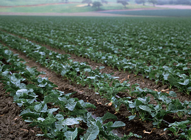 agriculture fields, santa maria, california - central coast california stock photos and pictures