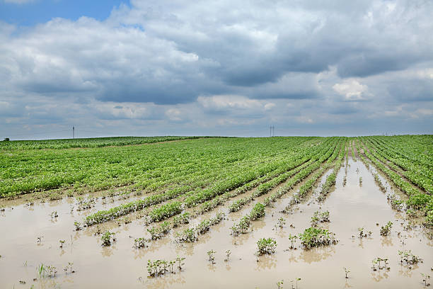 Agriculture, flooded soy field stock photo
