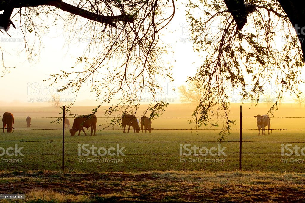 Agriculture: Foggy Farm Sunrise with cattle in field, fence, branches stock photo