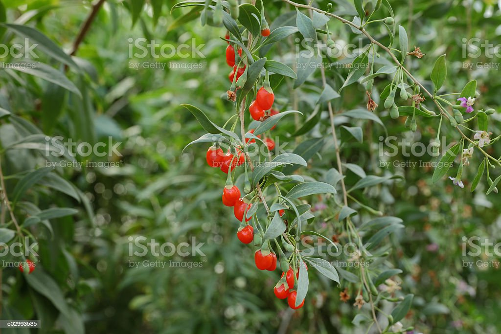 Agriculture, goji berry fruit stock photo