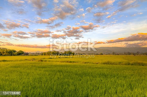 Agriculture green rice field under sunset sky and mountain back at contryside. farm, growth and agriculture concept.