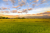 istock Agriculture green rice field under sunset sky and mountain back at contryside. farm, growth and agriculture concept. 1247733092