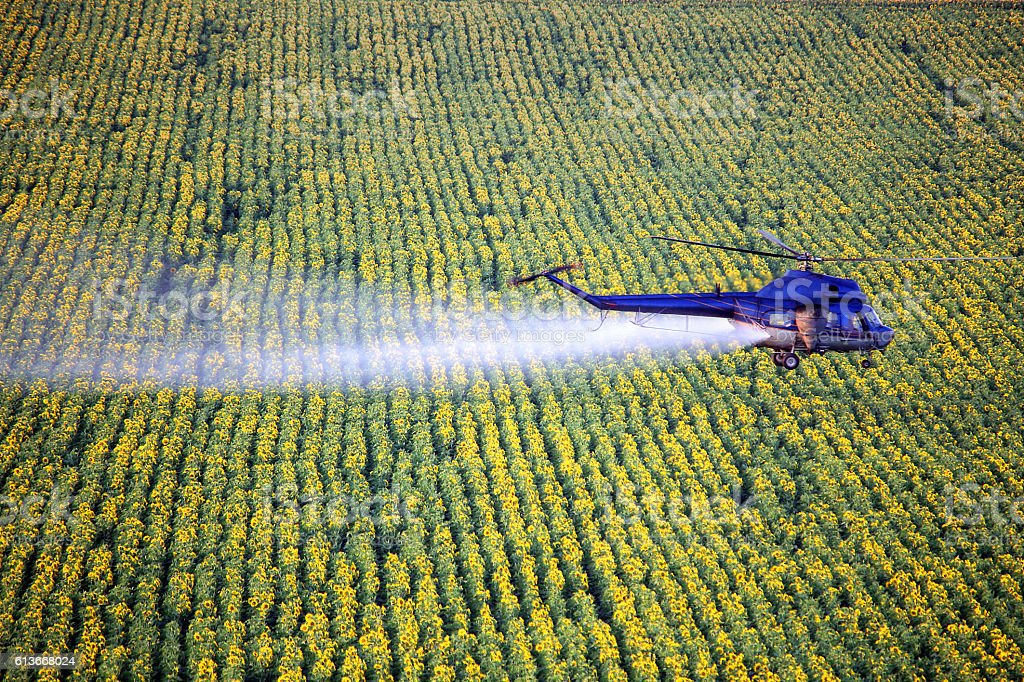 Agriculture. Helicopter low-flying spraying above sunflowers field at July stock photo