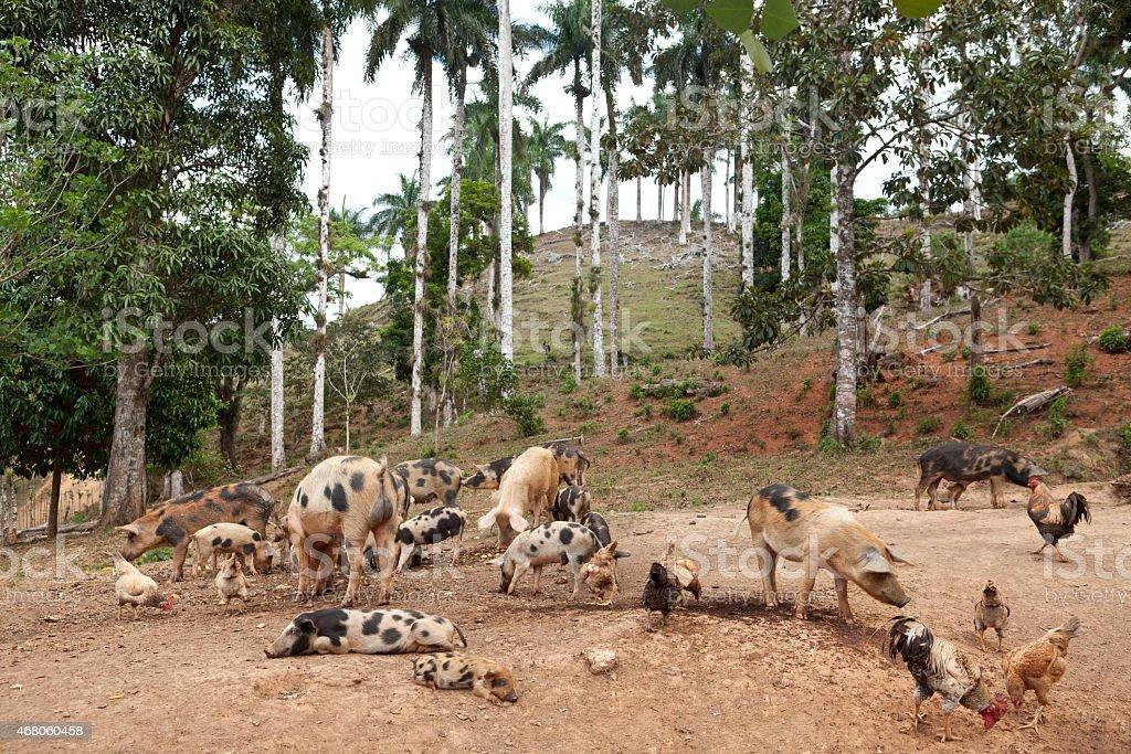 Landwirtschaft in Kuba – Foto