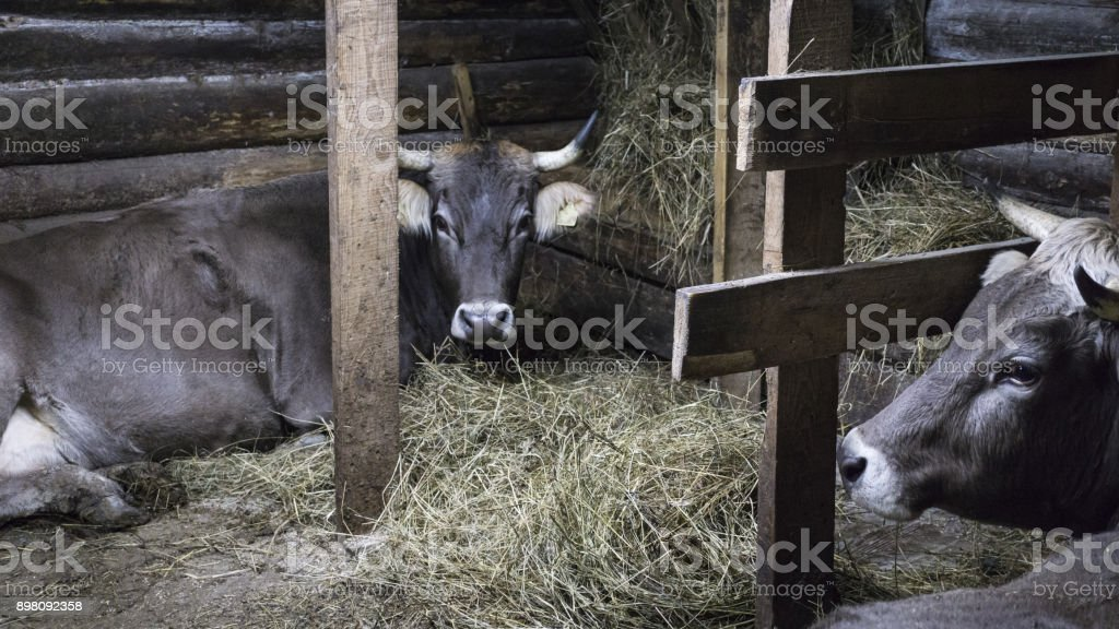 agriculture industry, farming and animal husbandry concept - herd of cows in cowshed on dairy farm stock photo