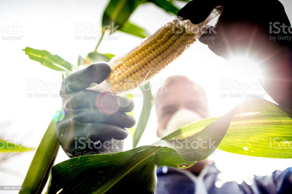 Agriculture Inspector Controlling the Crop stock photo