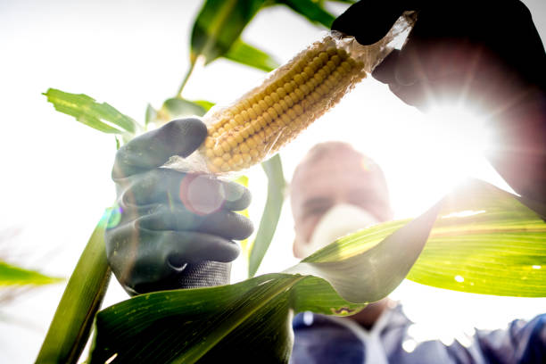 agriculture inspector controlling the crop - genetic modification stock photos and pictures
