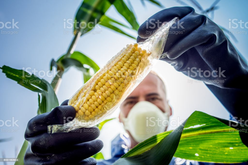 Agriculture Inspector Controlling the Crop - Foto stock royalty-free di Adulto