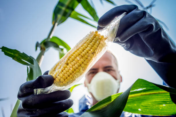 Agriculture Inspector Controlling the Crop Agriculture Inspector Controlling Crop Contamination genetic modification stock pictures, royalty-free photos & images