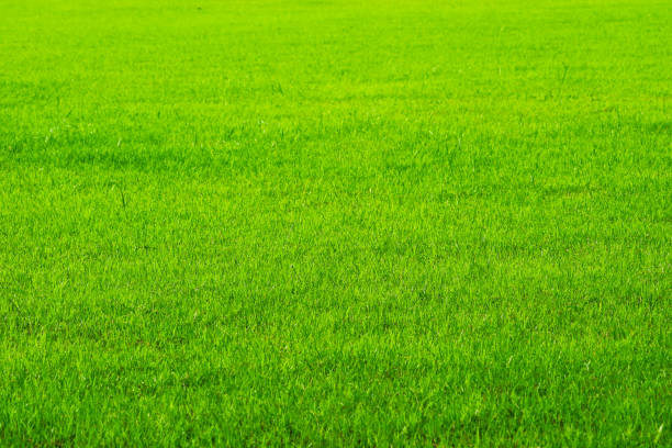 agriculture nature green grass in the field background stock photo