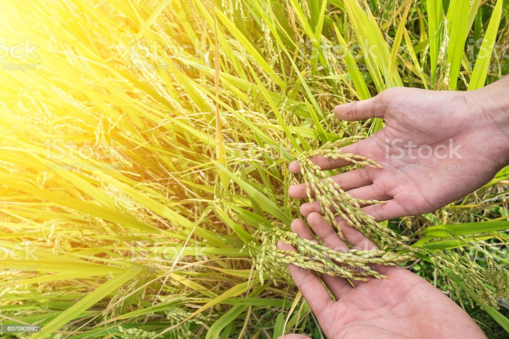 Agriculture/ Old hand tenderly touching a young rice in the stock photo