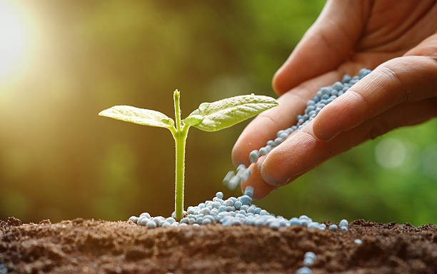 agriculture hand of a farmer giving fertilizer to young baby plants seedling in germination sequence on fertile soil with natural green background fertilizer stock pictures, royalty-free photos & images