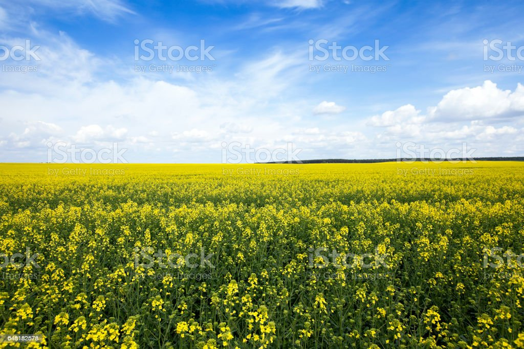 Agriculture. rape. Spring stock photo