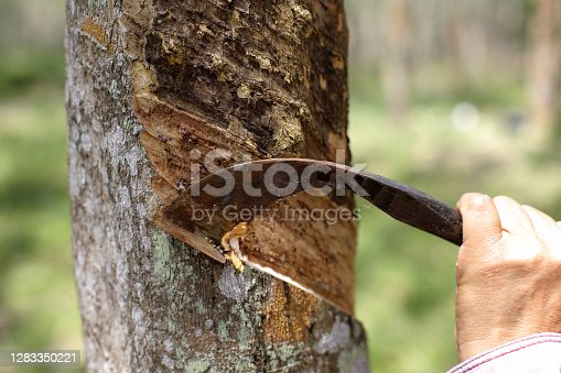 Human hand working at rubber tree plantation collecting latex.