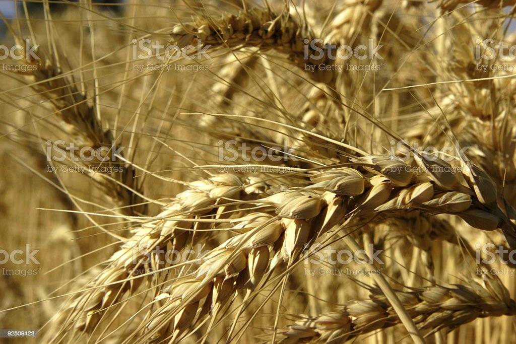 agriculture scenes - amber barley royalty-free stock photo